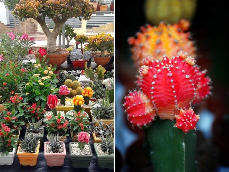 hogyan lehet gyógyítani a pikkelysömör kaktusz)