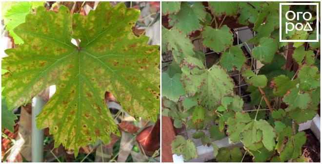 szőlőn piros foltok fotó hogyan kell kezelni