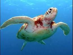 a teknős bőrén vörös foltok vannak)