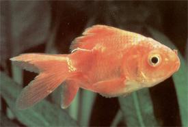 vörös foltok az aranyhal kezelésén