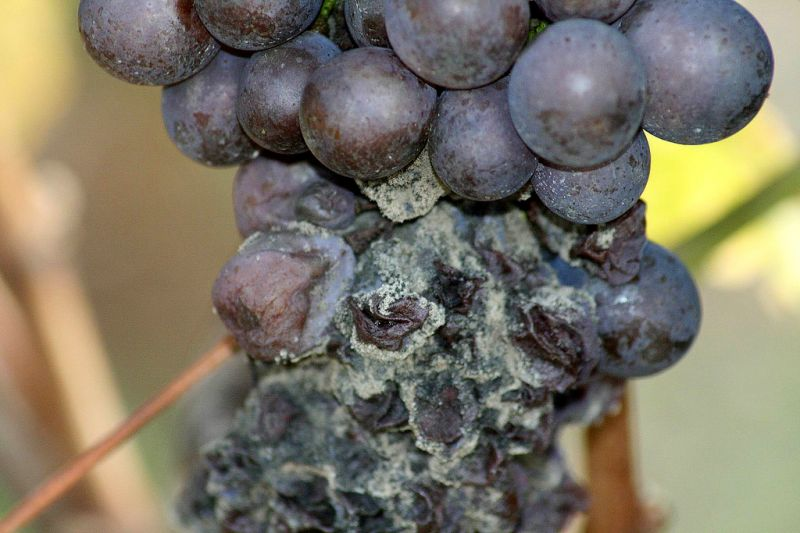 A szőlő korai tőkeelhalás betegségei - Mezőhír