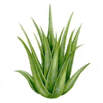 Aloe verát pikkelysömörre, ekcémára, bőrallergiára és bőrgyulladásokra