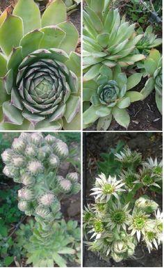 kaktusz pikkelysömör kezelése)