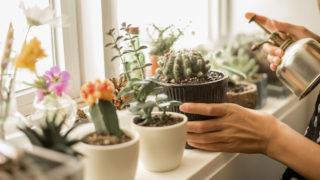 kaktusz pikkelysömör kezelése
