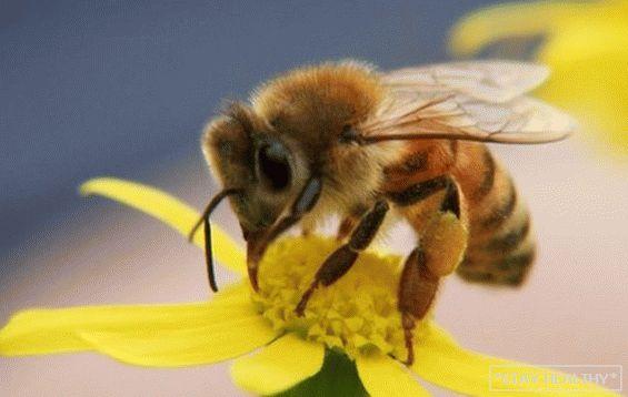 méhméreg kezelés pikkelysömörhöz