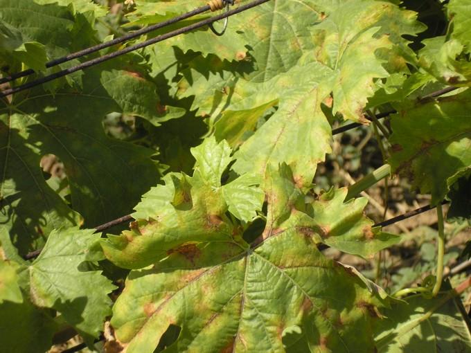 szőlő vörös foltok a leveleken hogyan kell kezelni