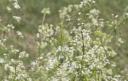 gyulladáscsökkentő gyógynövények pikkelysömör bőrére)